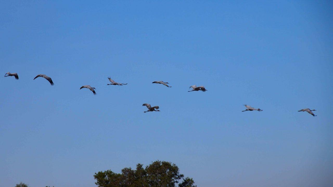 Brolgas in flight