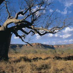 EL Questro boab tree